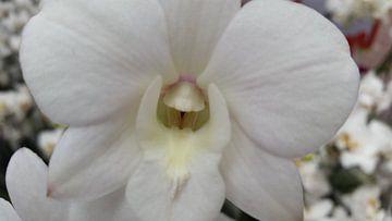 orchidee #6 van Lucas Joël Smeenge