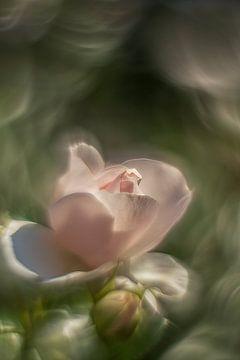 es ist eine Rose von Elly Besselink