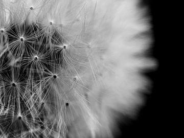 Löwenzahnsamen Nahaufnahme Makro-Fotografie von Art By Dominic