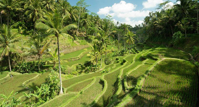 rijstvelden  van Lex Scholten