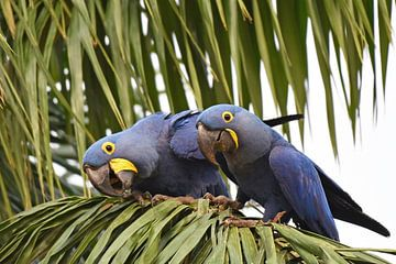 Papegaaien en ara's: Paartje nieuwsgierige hyacinthara's van Koolspix
