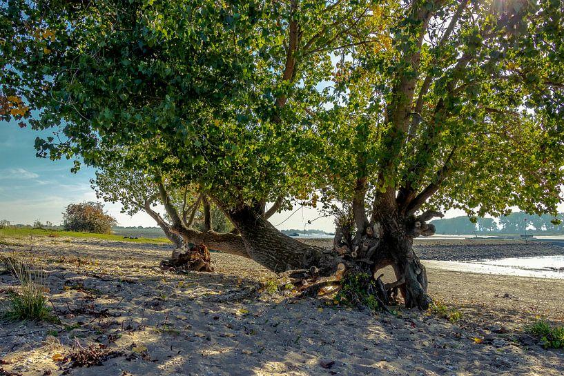 waalstrand boom sur scott van maurik
