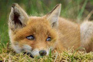 schattig jong vosje van Rando Kromkamp
