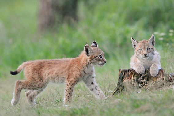 Two cute juvenile Eurasian Lynx ( Lynx lynx ), little kitten, playing with each other.