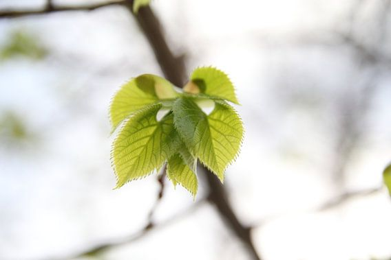 Spring Leaves van Cornelis (Cees) Cornelissen