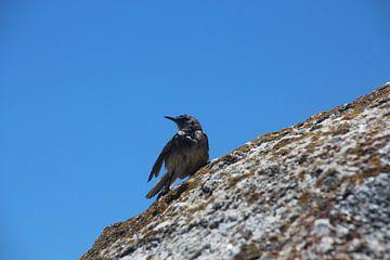 Vogel op rots van Quinta Dijk