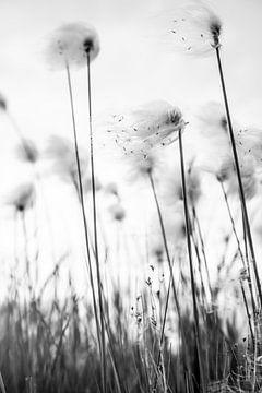 Zwart wit foto van fluffy gras - veenpluis