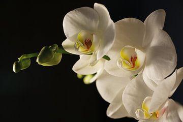 weiße Orchidee von Cora Unk