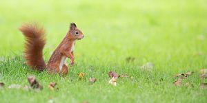 Eekhoorn in groen gras