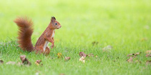 Eekhoorn in groen gras van Kris Hermans