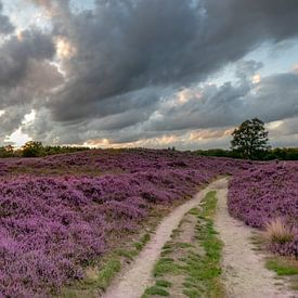 Blühende Heidelandschaft auf der Gasterse Duinen von Arthur Puls Photography