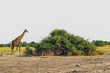 Giraf loopt voorbij een hoge struik van Merijn Loch