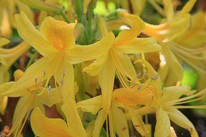 Gele azalea