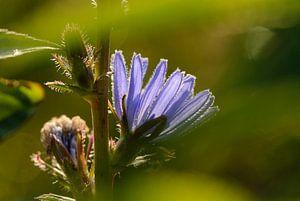 Blauwe bloem, Cichorei, Cichorium intybus