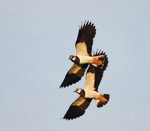 Vliegende Kieviten