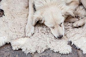 Hond in Peru van