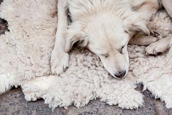 Hond in Peru