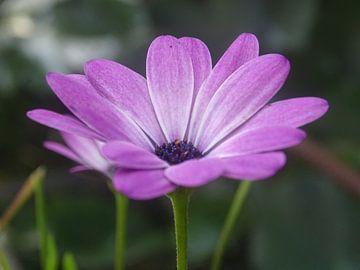 Paarse bloem von Sanne Compeer