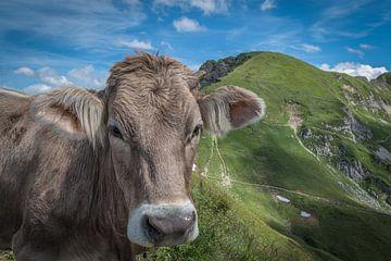 Koe bij de Nebelhorn van Stefan Mosert