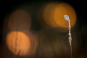 Icarusblauwtje met bokeh van