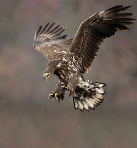 Seeadler auf den Angriff