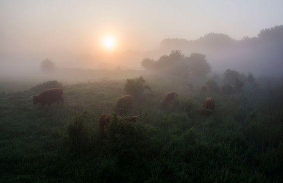 Schotse hooglanders te grazen in de dauw, tijdens zonsopkomst