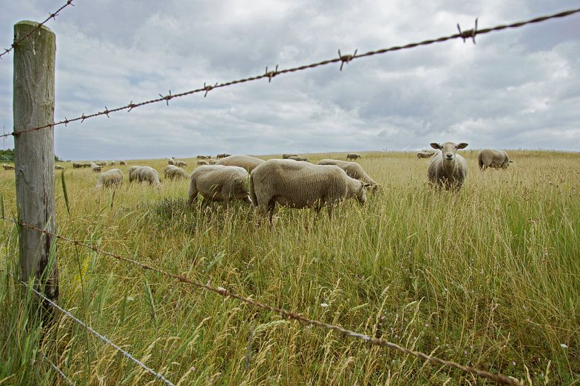 sheep in the field van Dirk van Egmond