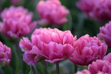 Doppelt geblümte rosa Tulpe von Barbara Brolsma