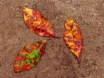 Johannisbeerbaum 1 (Herbstblätter des Johannisbeerbaums) von Caroline Lichthart