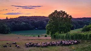Schaapjes in het Limburgse Veld