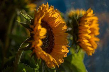 Zonnebloemen 3 von Joke Beers-Blom