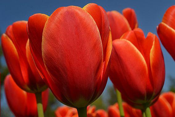Tulpen in de Bollenstreek