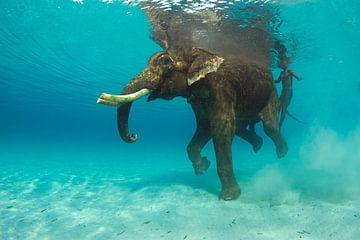 Zwemmende olifant sur