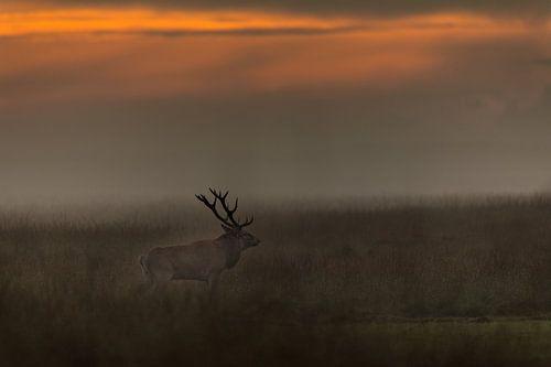 Edelhert bij zonsondergang van