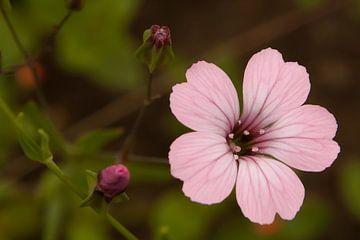 Rosa Blüte von t.ART