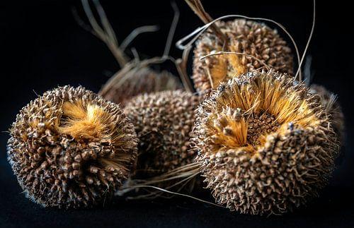 Vruchten van de plataan