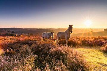 Le lever du soleil d'or, les chevaux et violet bruyère ..wow! sur Hans Brinkel