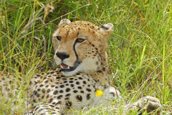 Cheetah   of Jachtluipaard van Peter Zwitser