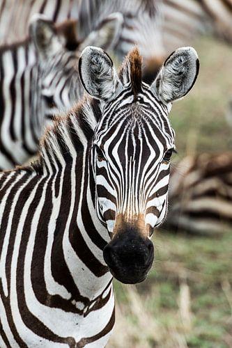 Zebraportret van Ronne Vinkx
