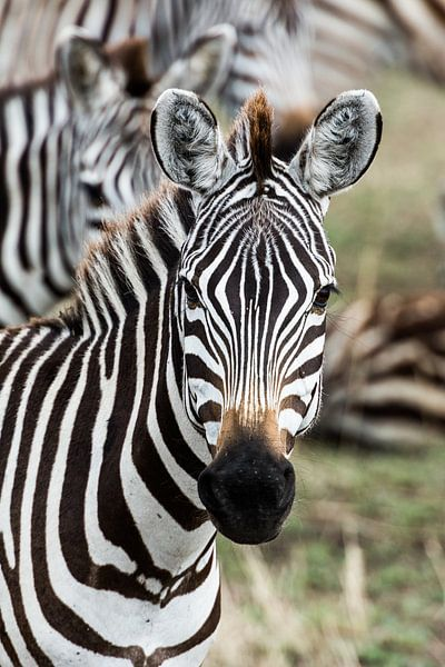 Zebraportret