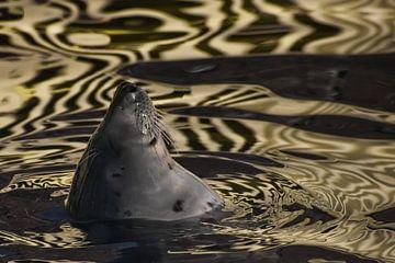 Le visage d'un phoque de la Baltique satisfait se penche sur l'eau dorée, dont la texture ressemble  sur Michael Semenov