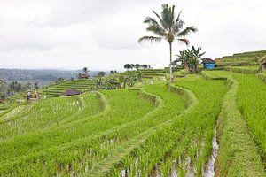 Rijstvelden (sawa's) in Bali van Giovanni de Deugd