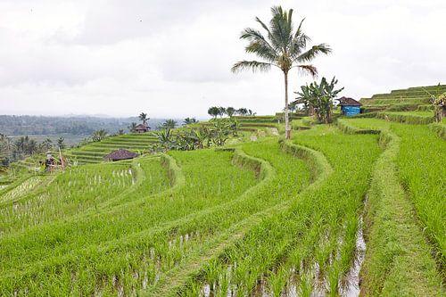 Rijstvelden (sawa's) in Bali von Giovanni de Deugd