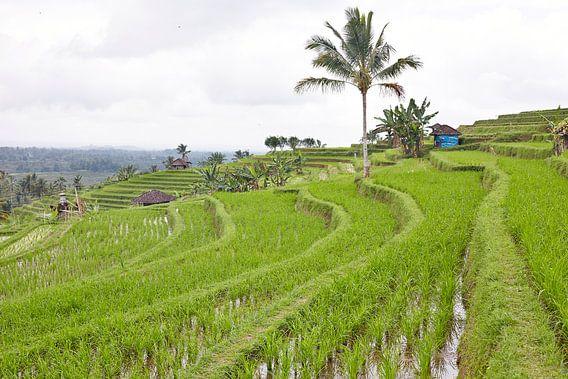 Rijstvelden (sawa's) in Bali