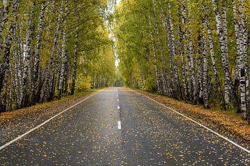 Straße durch einen Birkenwald im Herbst