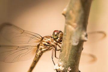 Libelle in Brazilie von Leon Doorn