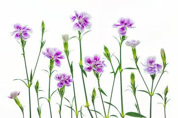 Nelken (Dianthus) mit weißem Hintergrund von Carola Schellekens
