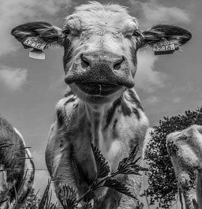 Koe in zwart-wit van