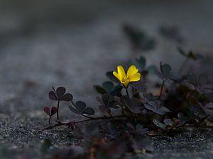 Klaverzuring met gele bloem