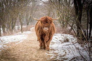 Schotse hooglander wandelend door de besneeuwde duinen. van Claudio Duarte